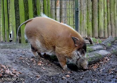 Pinselschwein