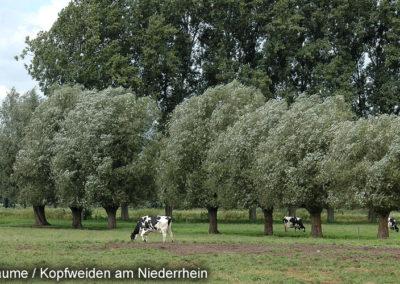 Kopfbäume